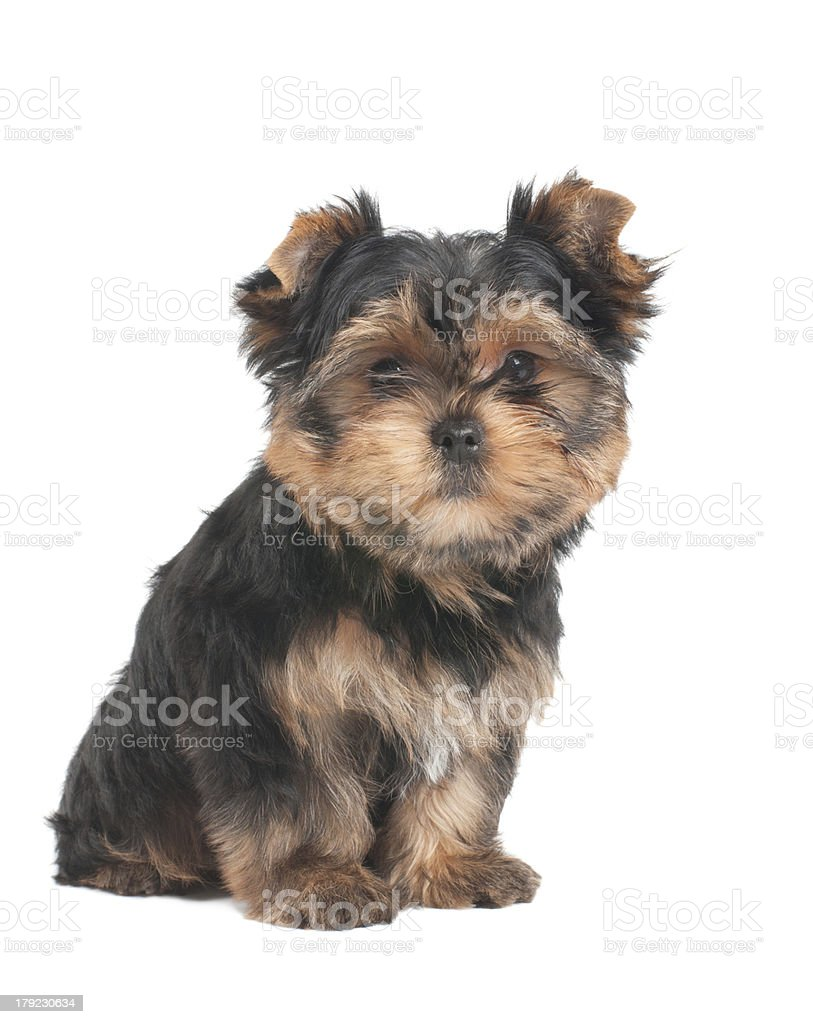 Funny puppy sits on white background royalty-free stock photo