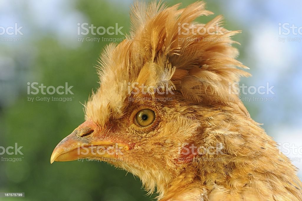 Funny Red Crested Chicken Close-Up royalty-free stock photo