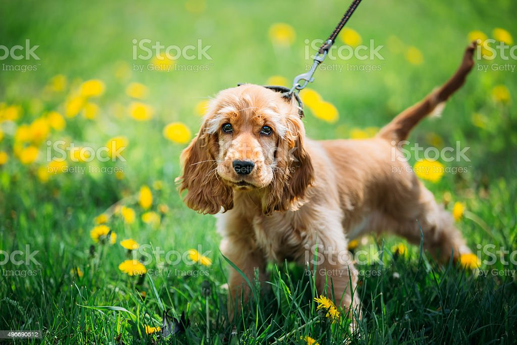 Funny Red English Cocker Spaniel Dog In Green Grass stock photo