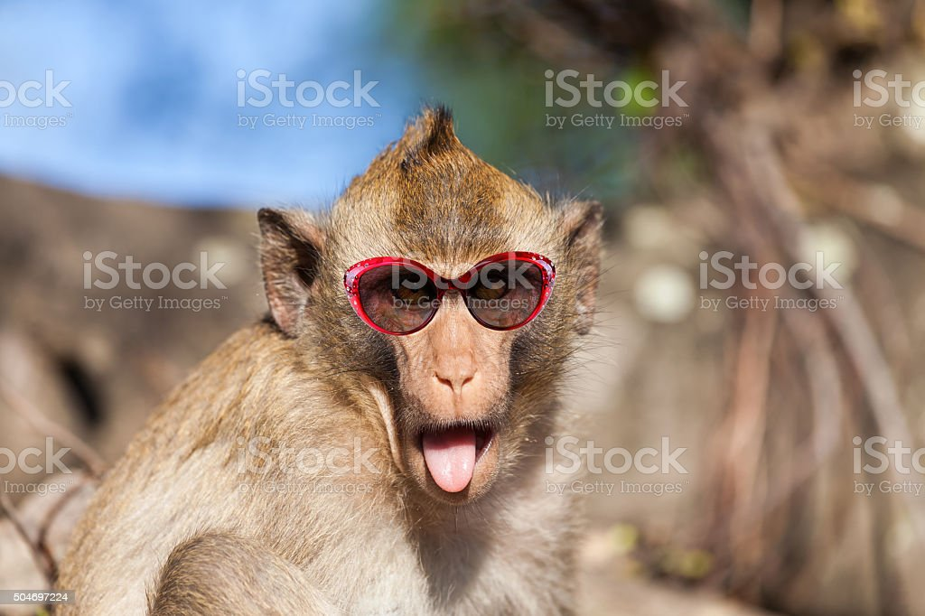 Funny rhesus monkey with tongue sticking out and sunglasses stock photo