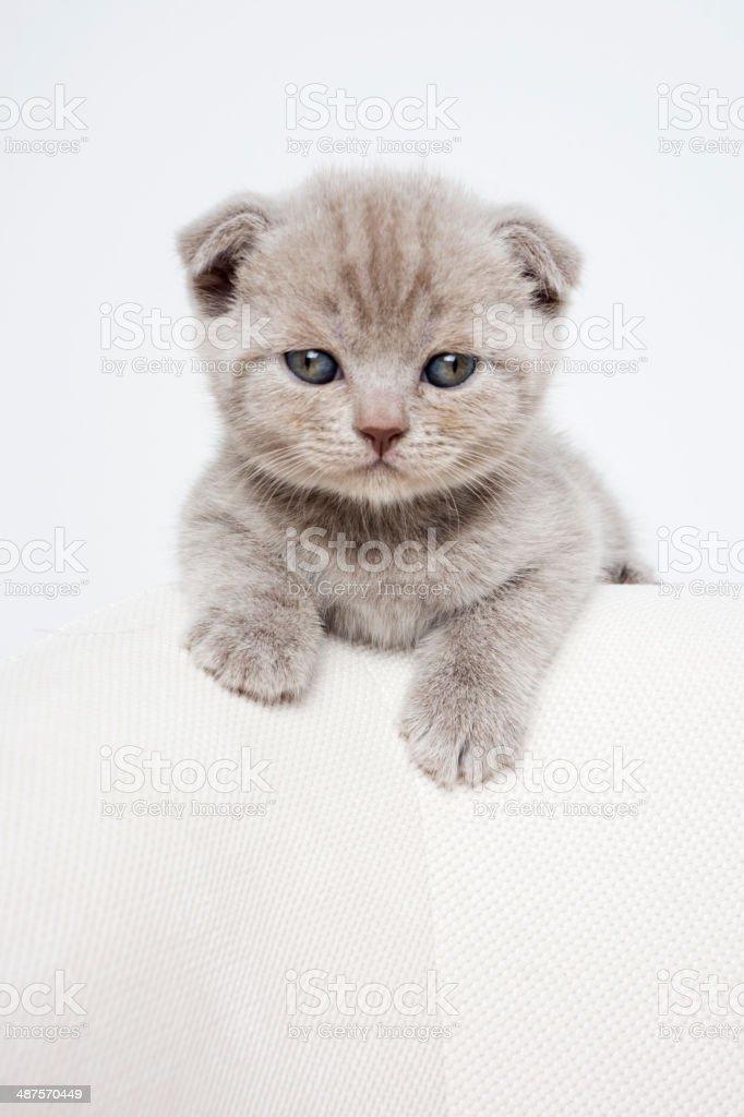 Funny Scottish purebred cat stock photo