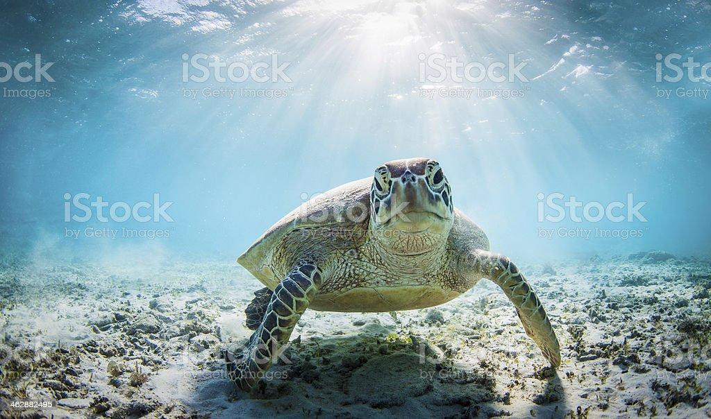 Funny sea turtle stock photo