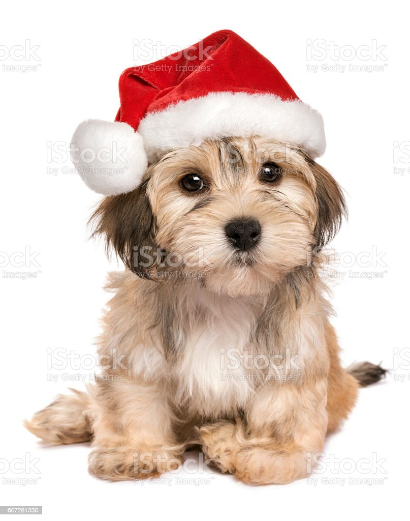 Funny sitting Christmas Havanese puppy dog stock photo