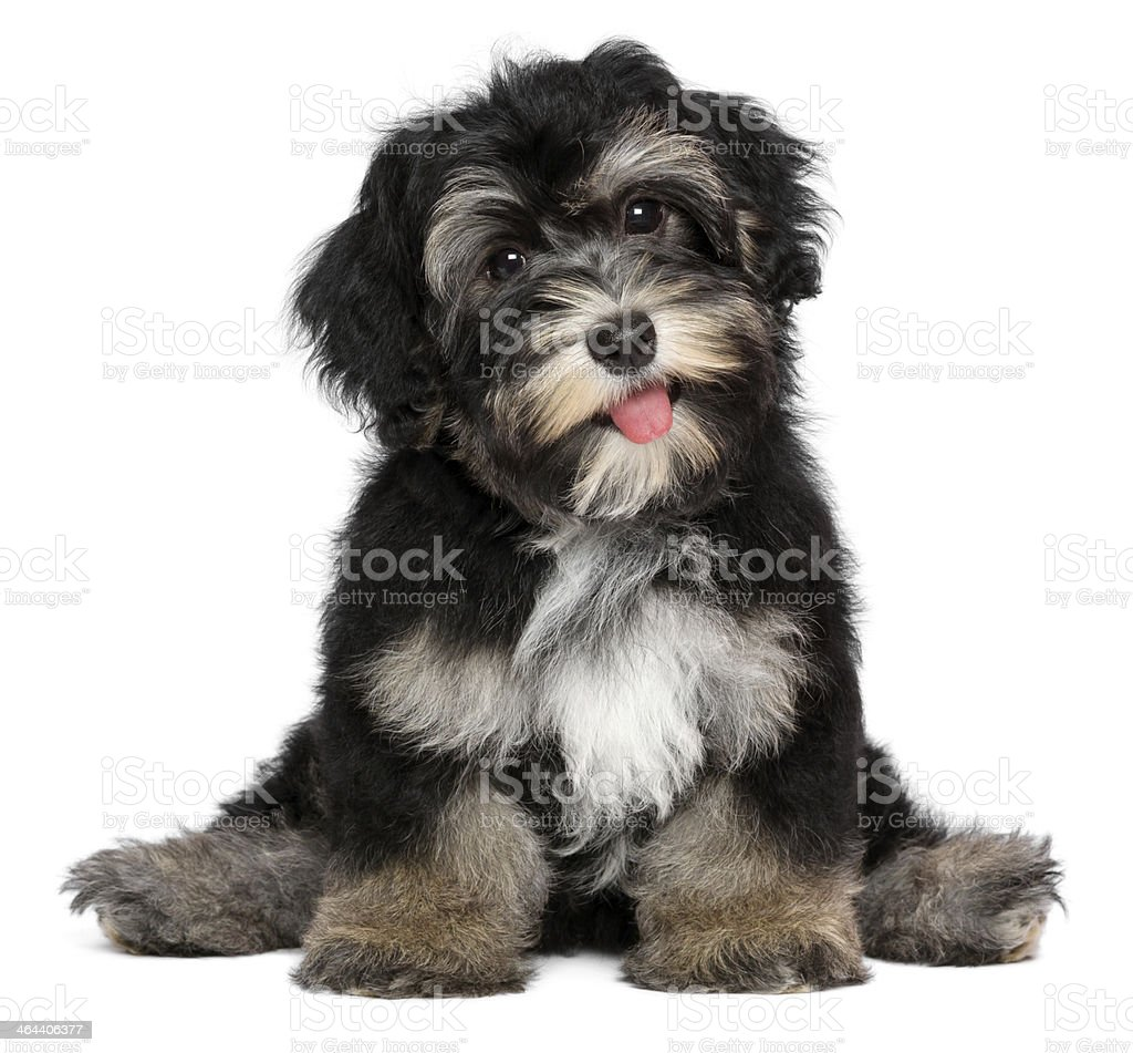 Funny smiling black and tan havanese puppy dog stock photo