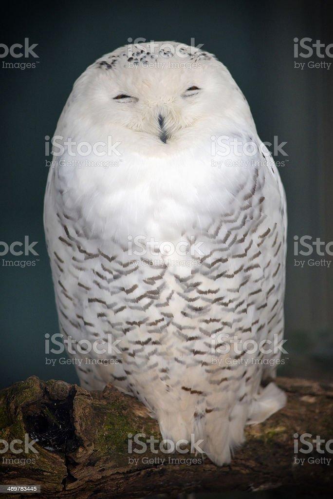 Funny Snowy Owl stock photo