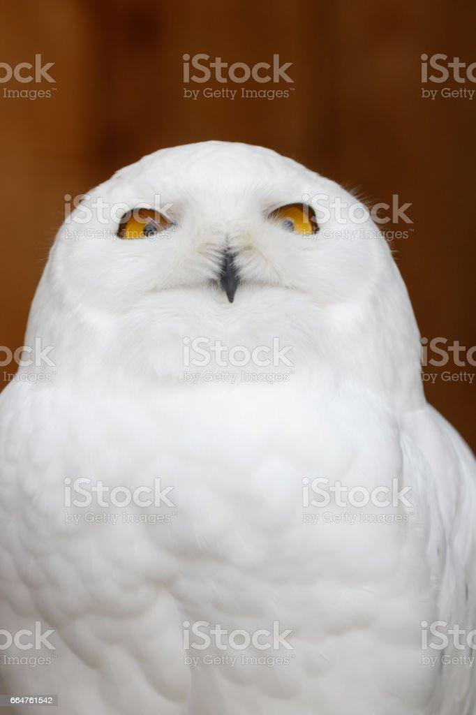 Funny Snowy owl (Bubo scandiacus) portrait stock photo