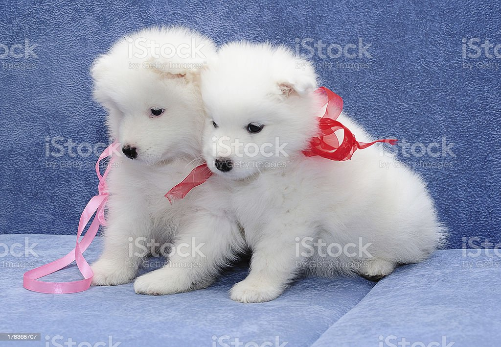 Funny snuggling puppies of Samoyed dog (or Bjelkier) royalty-free stock photo