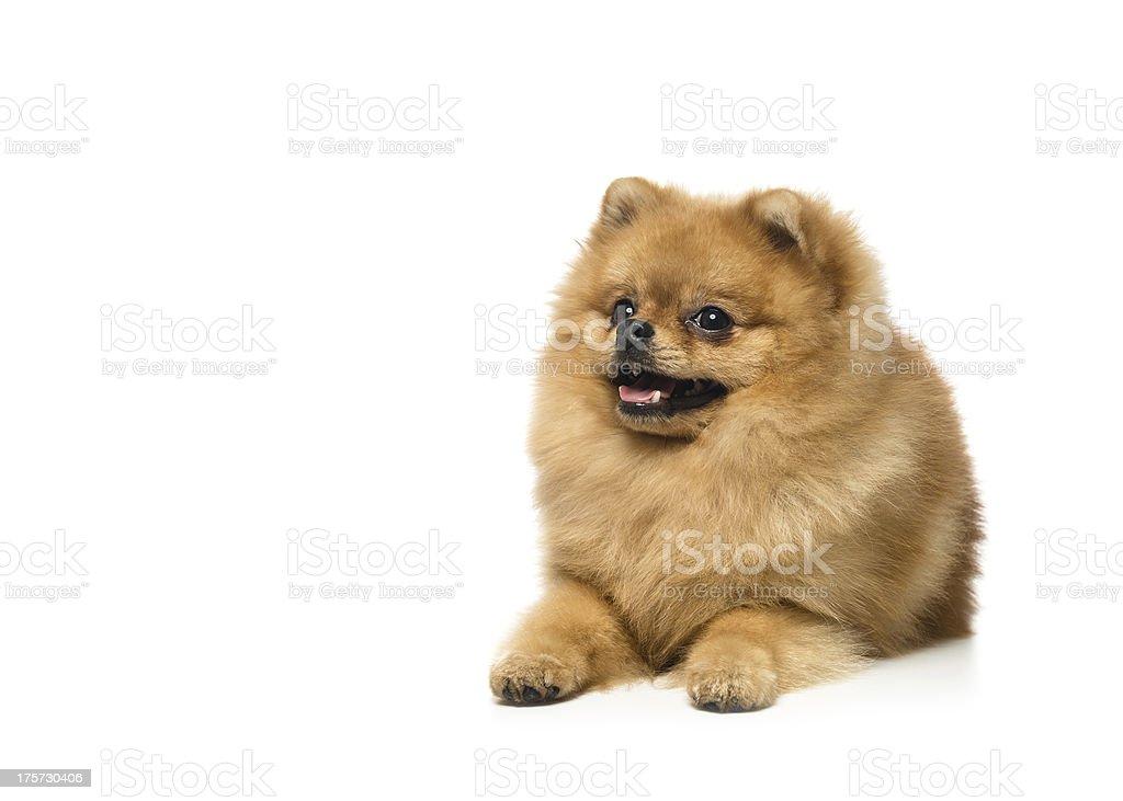 Funny Spitz dog royalty-free stock photo