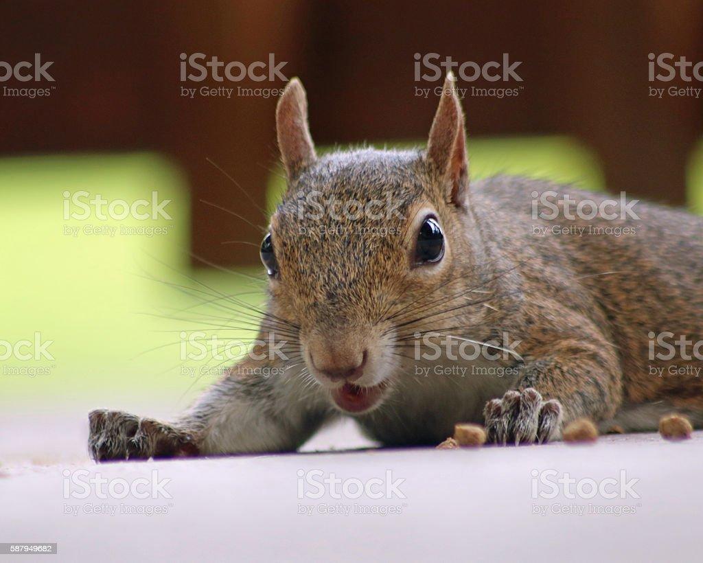 Drôle écureuil photo libre de droits