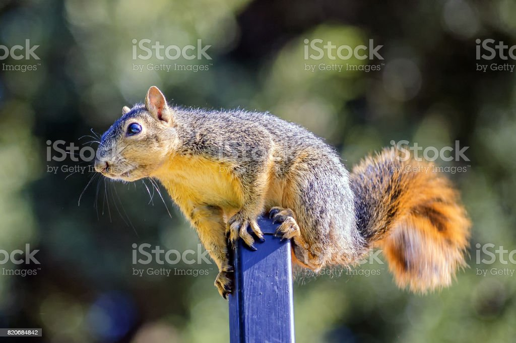 Funny squirrel standing on a pole in California backyard; dedicated focus stock photo