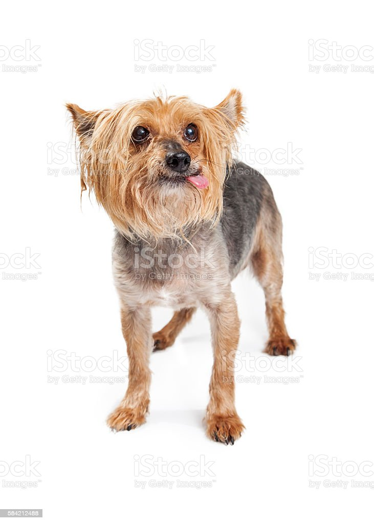 Funny Terrier Dog Tongue Out stock photo