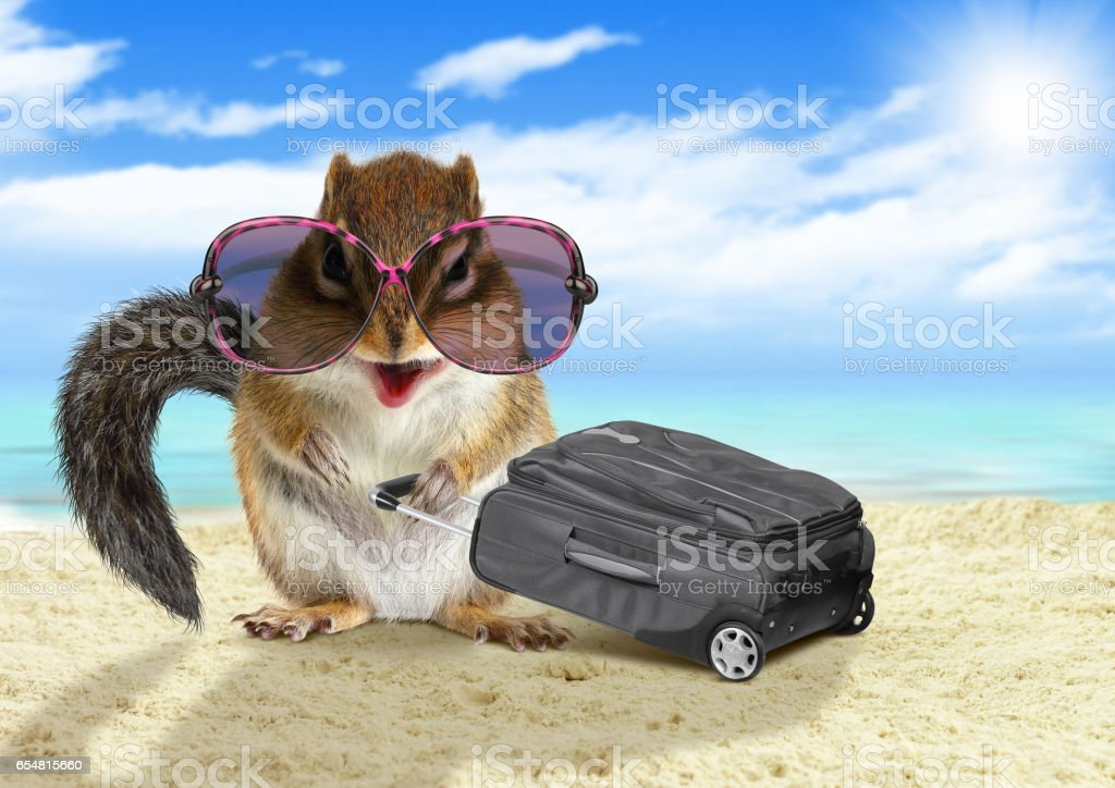 Funny tourist, animal squirrel with suitcase at the beach stock photo