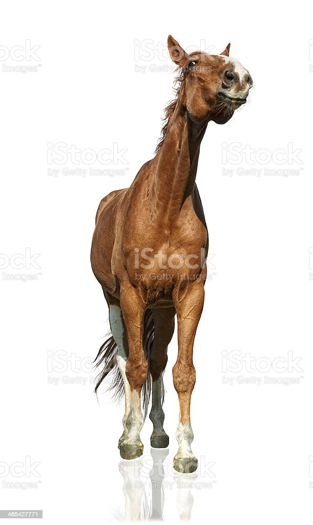 funny warmblood horse - isolated on white stock photo