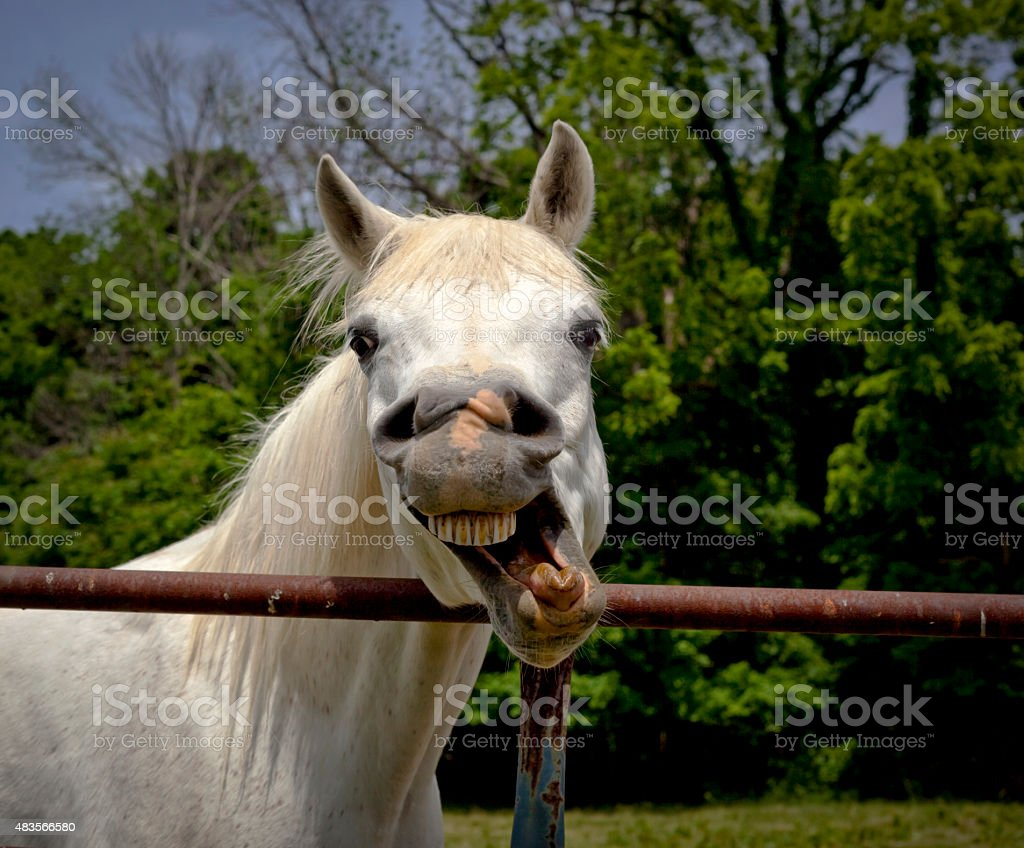 Funny white Arabian horse making face stock photo