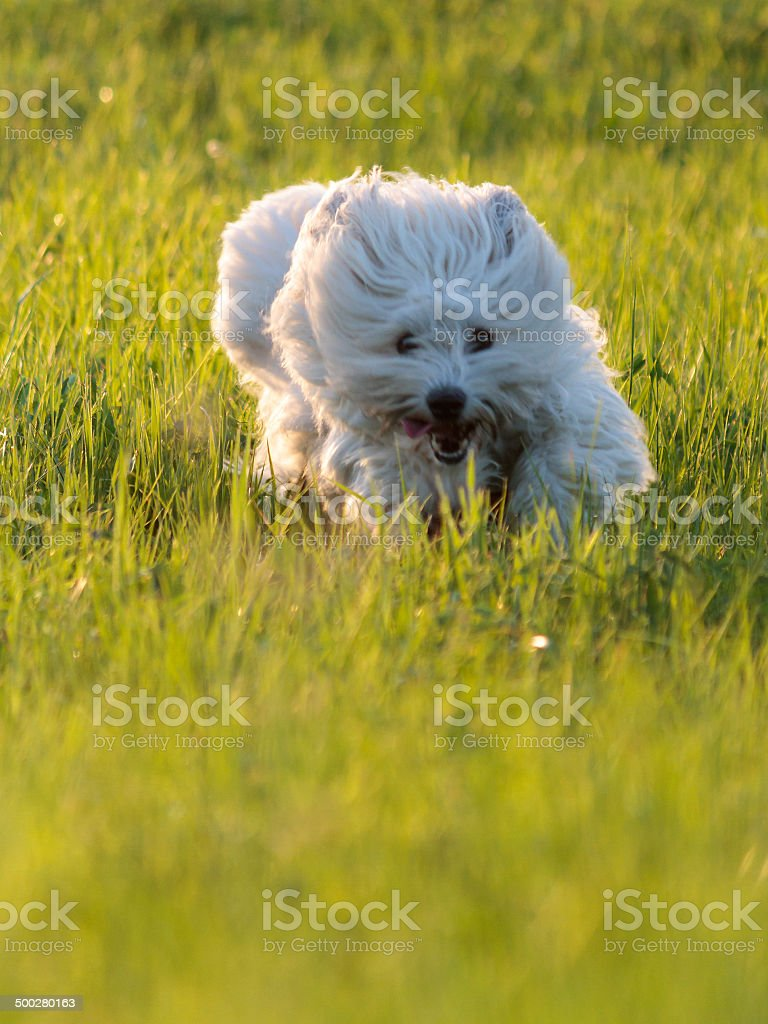 Lustiger White Hund Lizenzfreies stock-foto
