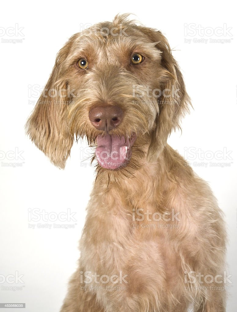 Funny Wirehaired Vizsla Pointer Dog Portrait Against White Background stock photo