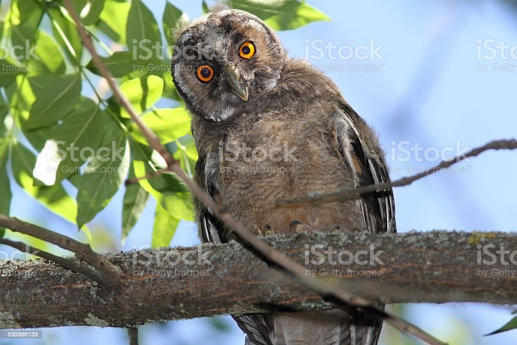 funny young owl looking at camera stock photo