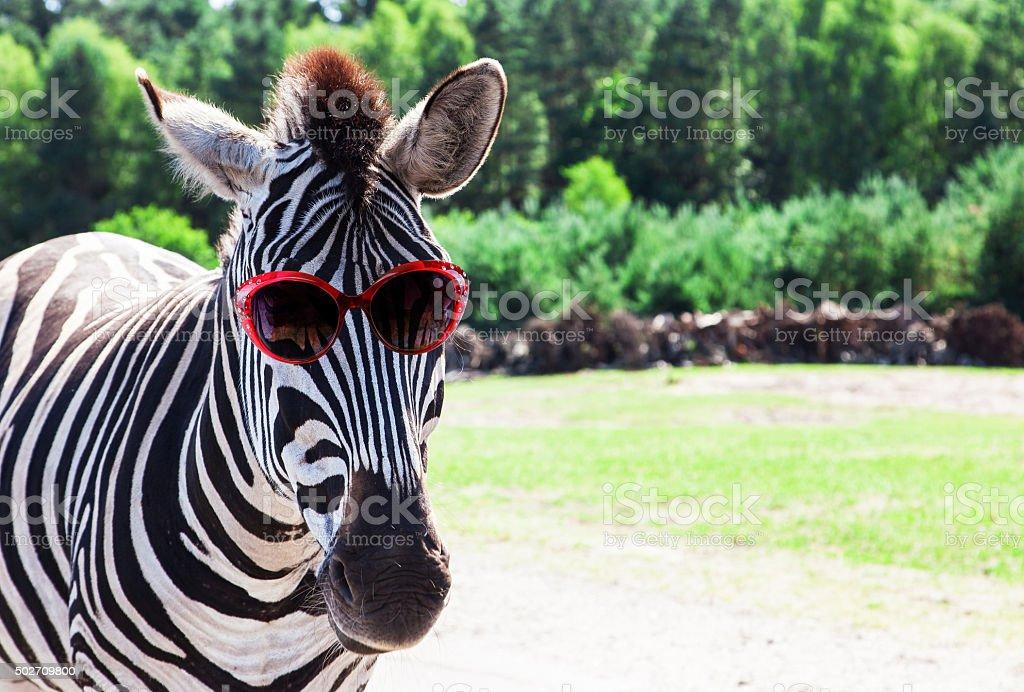 Funny zebra with sunglasses stock photo