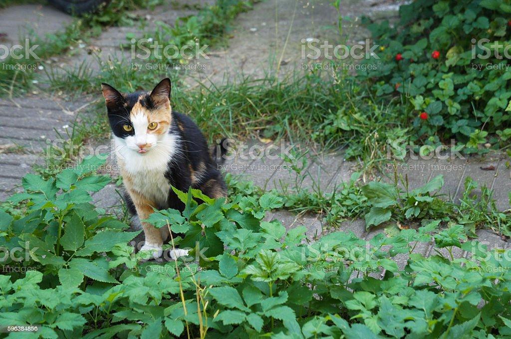 Funy three colored cat protruding tongue stock photo