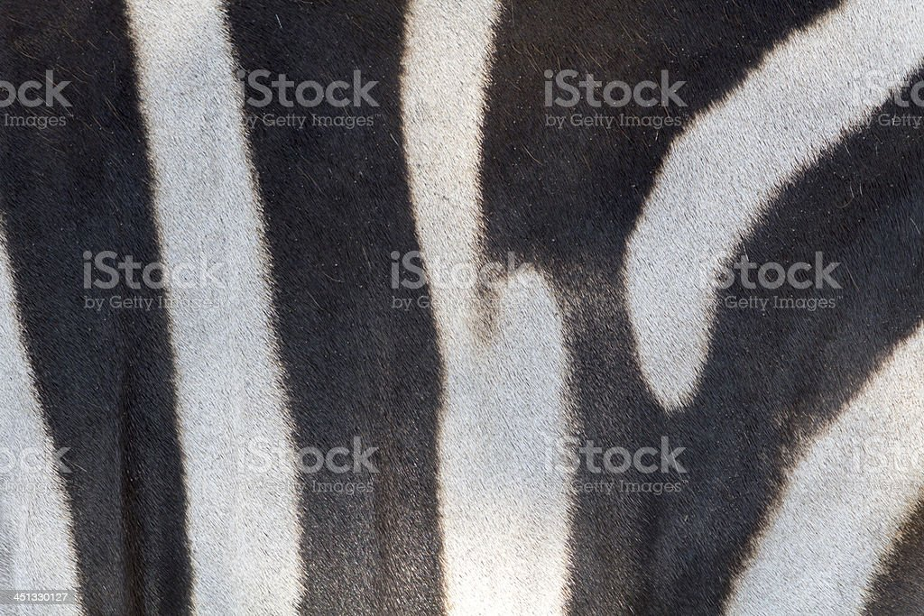 Fur detail of a zebra royalty-free stock photo