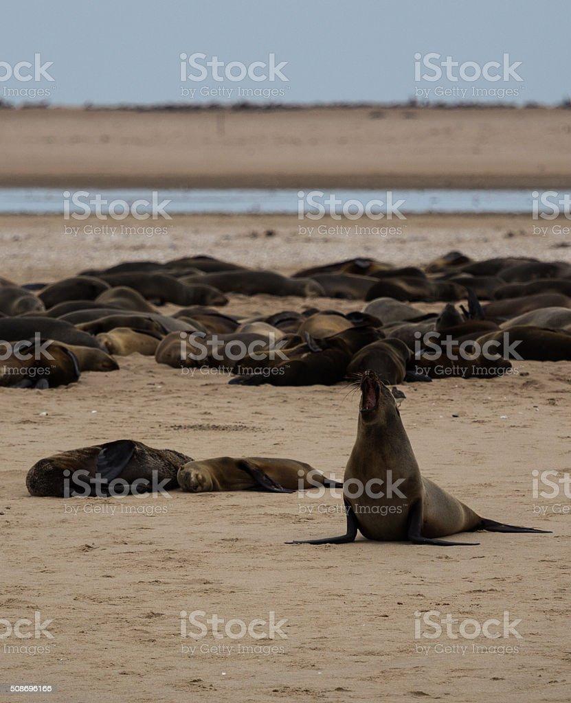 Fur sea lion calling stock photo