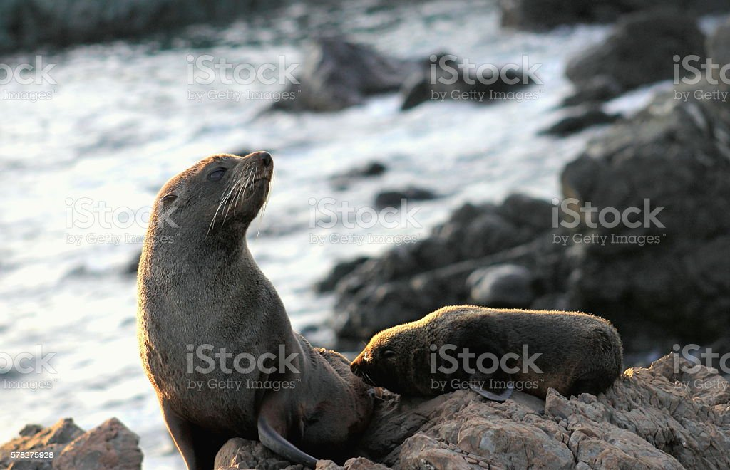Fur Seal, Mother and Pup stock photo