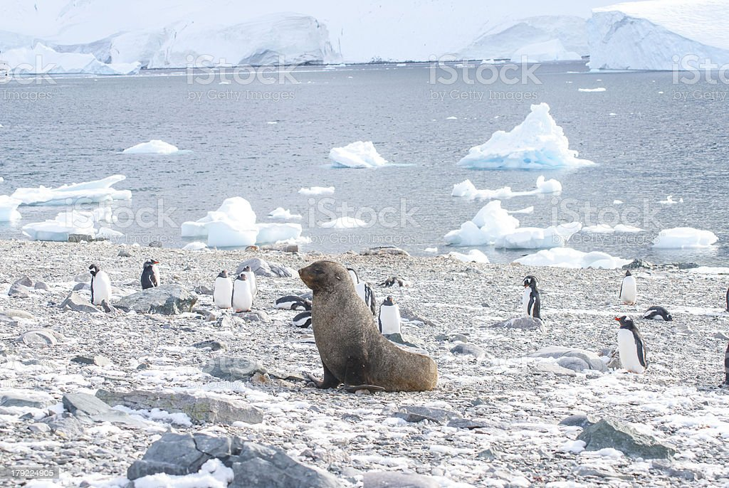 Fur seal & Penguins royalty-free stock photo