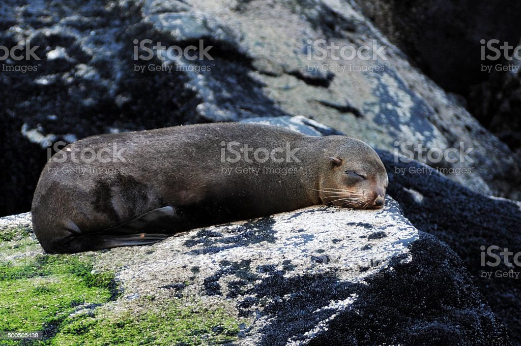 Fur Seal stock photo