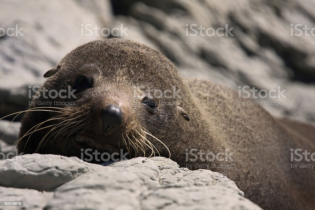 Fur seal puppy with lovely eyes and ears out stock photo