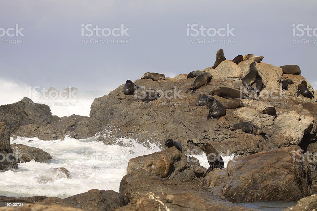 Fur Seal Rookery stock photo