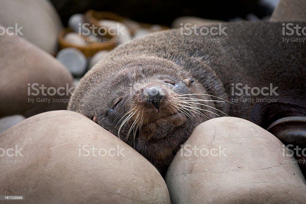 Fur Seal Sleeping on the rocks in New Zealand stock photo