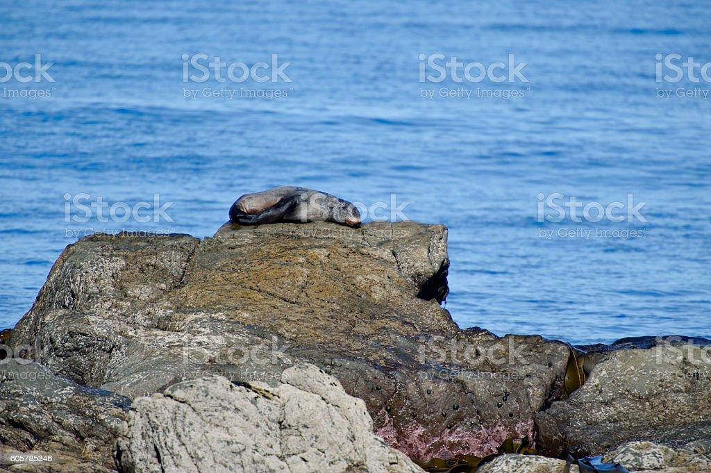 Fur Seal sleeping stock photo