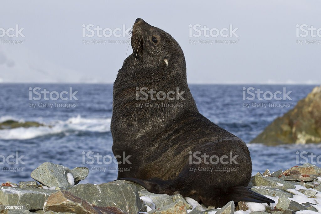 fur seal that sits on a rocky beach Antarctic islands stock photo