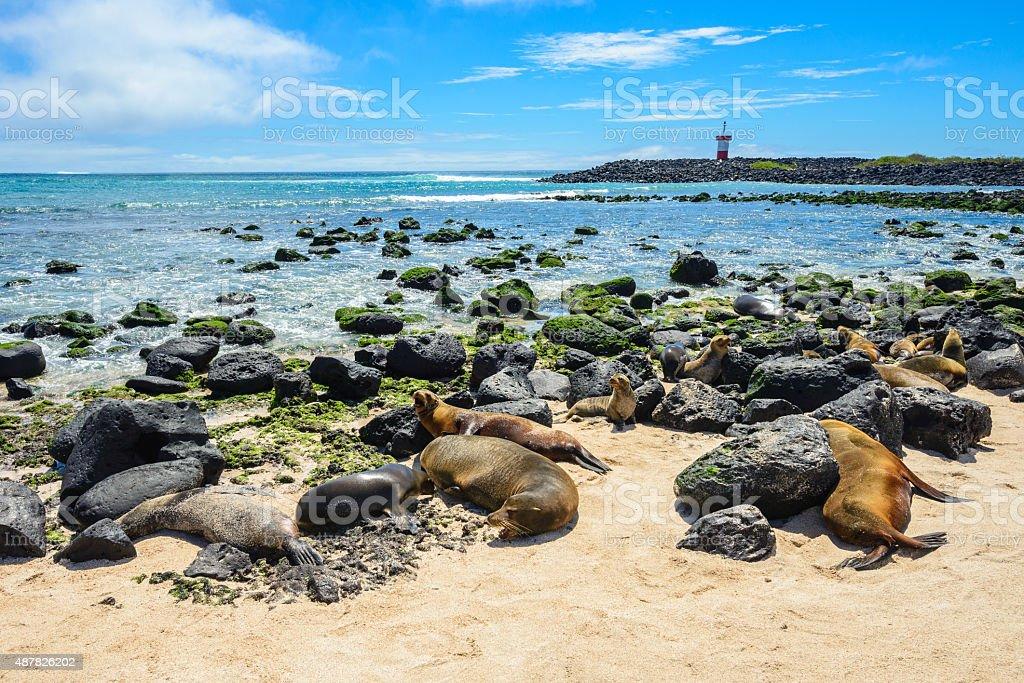 Fur seals at Punta Carola beach, Galapagos islands (Ecuador) stock photo
