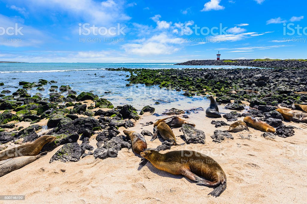 Fur seals at Punta Carola beach, Galapagos islands (Ecuador) stock photo