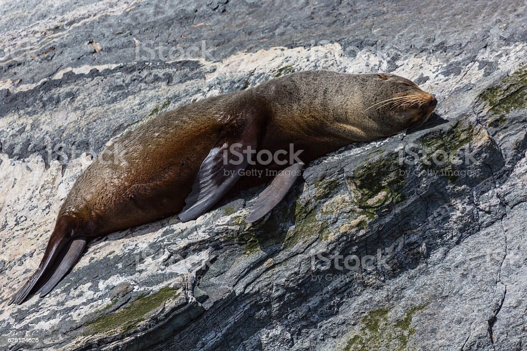 Fur seals (Arctocephalus forsteri) colony in Milford Sound, Fior stock photo