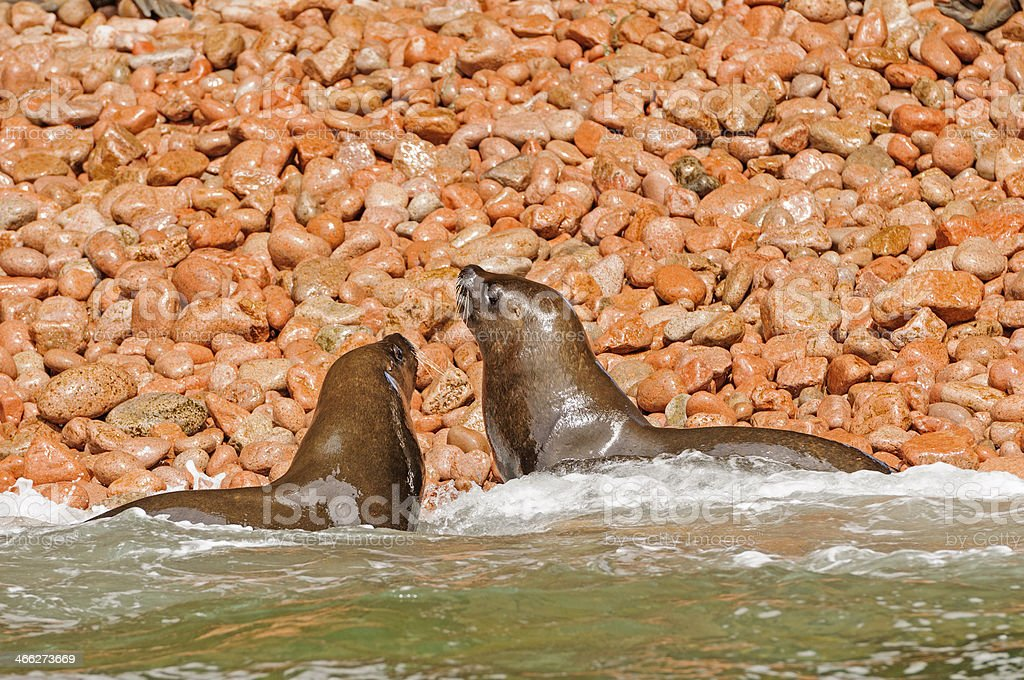 Fur Seals landing on a rocky coast stock photo