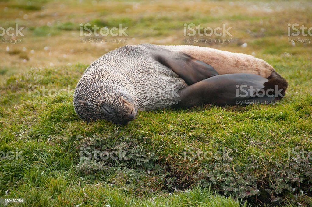 Fur Seals on South Georgia's Salisbury Plains stock photo