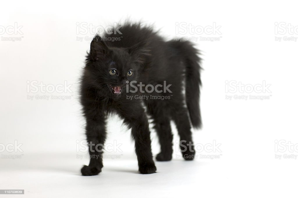 furious black siberian cat kitten in front of white wall stock photo