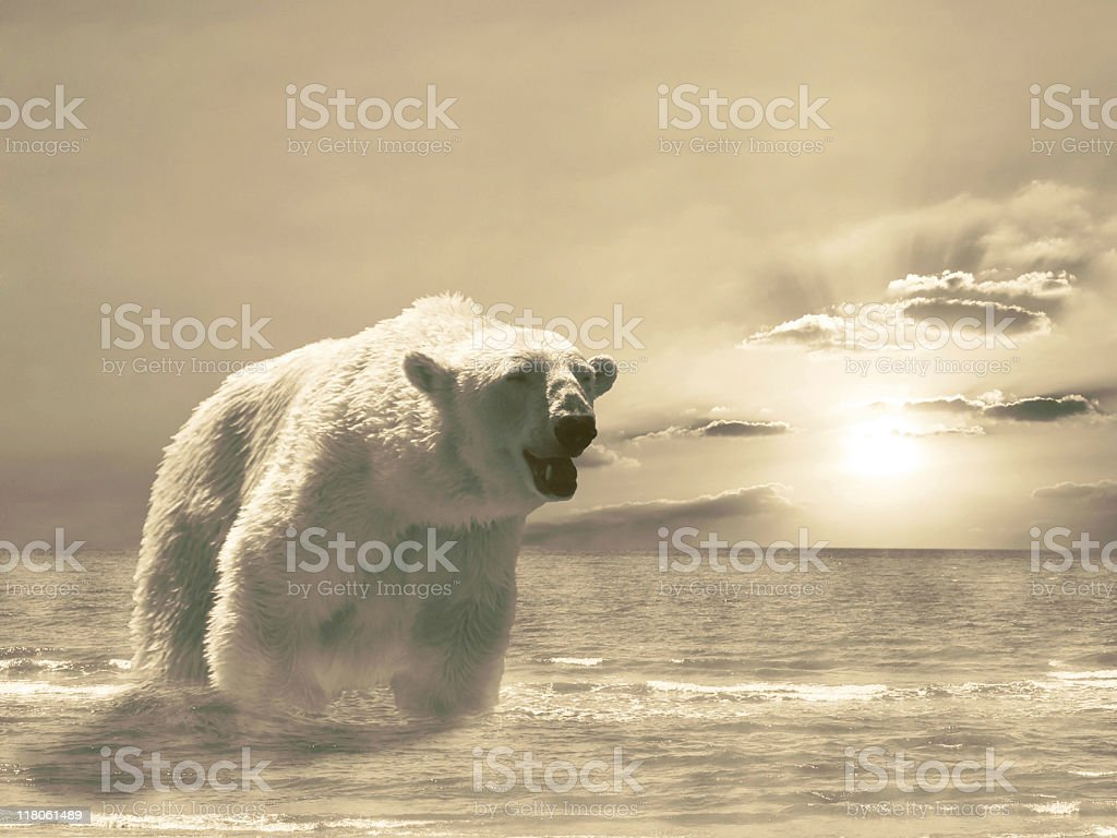Furious White ploar bear in the sea stock photo