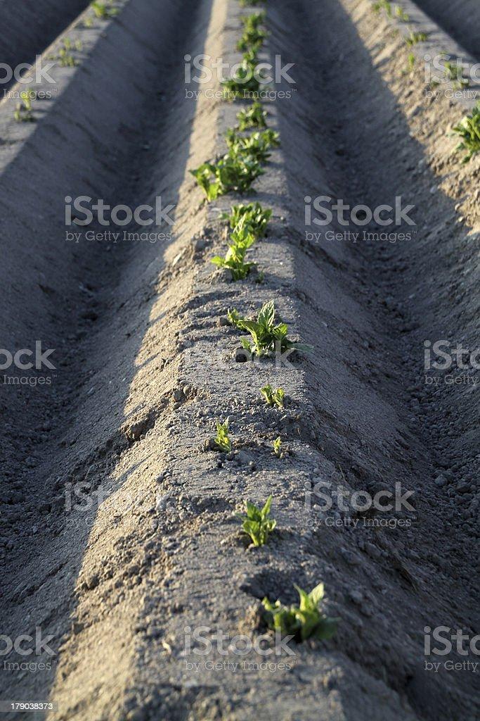 Furrows of a potato field stock photo