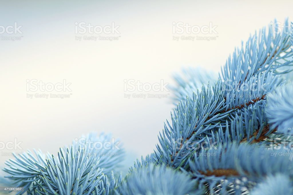 Furry, blue close-up of Christmas tree branches stock photo