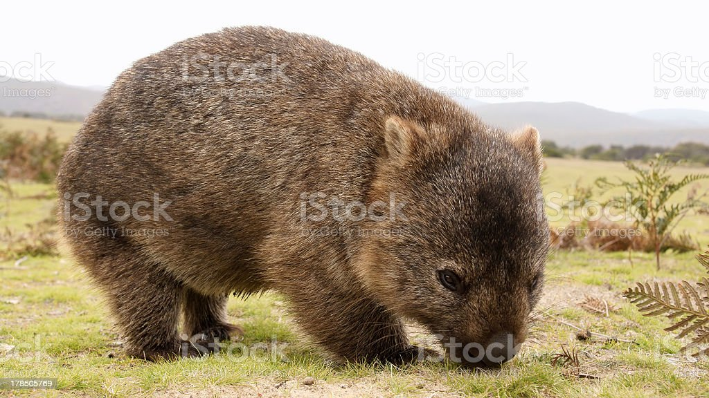 A furry brown wombat grazing in a field stock photo