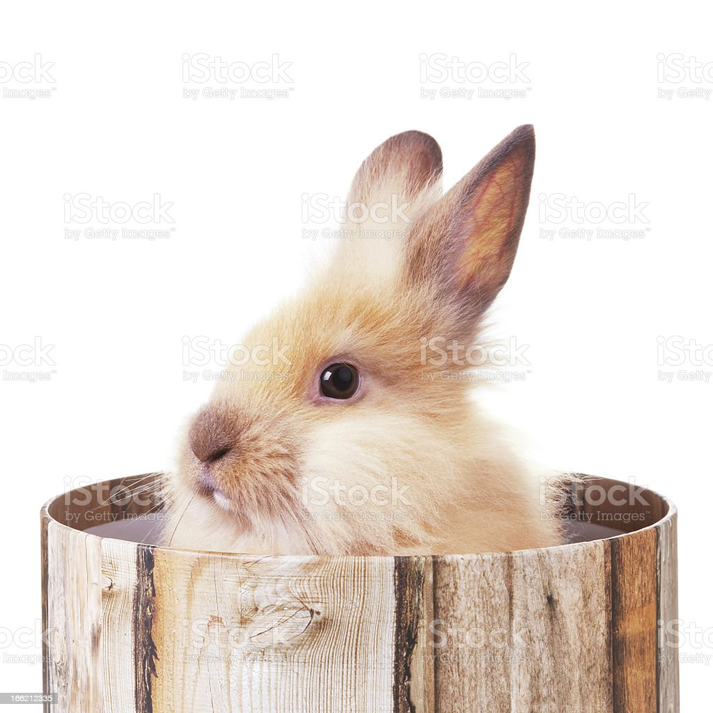 Furry bunny in a box stock photo