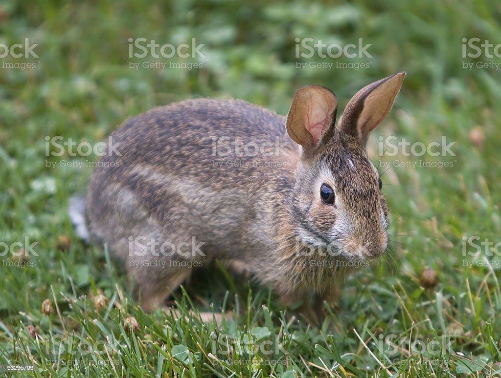 Furry Bunny Rabbit stock photo
