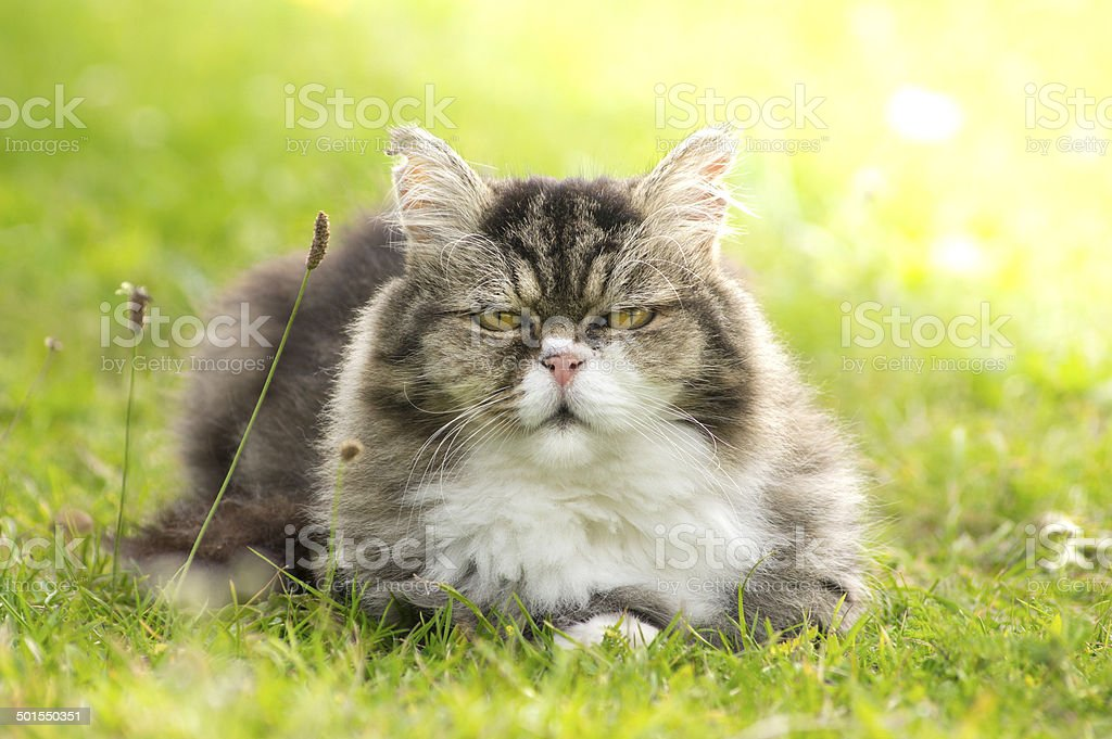 furry cat  resting in green grass on nature  sunlight stock photo
