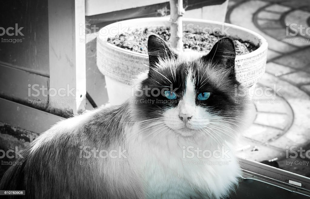 furry cat with blue eyes stock photo