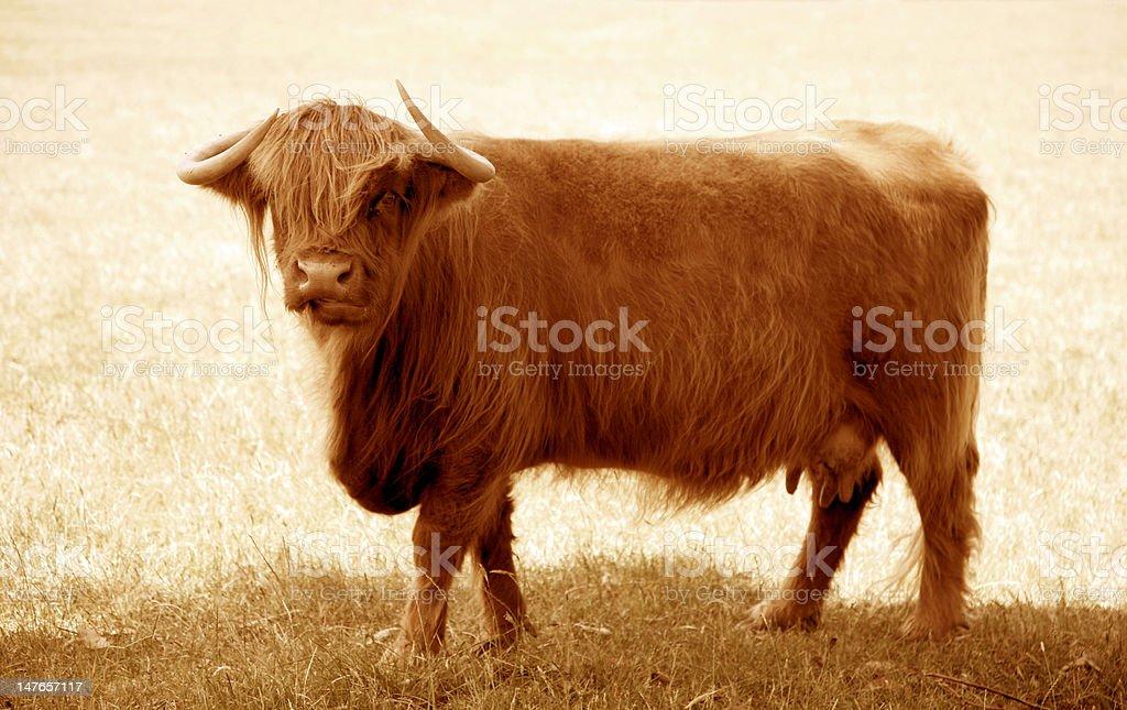 Furry Rindsleder Lizenzfreies stock-foto