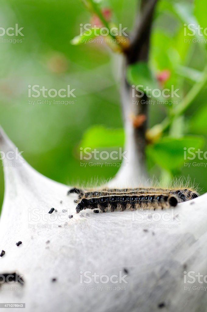 Furry Gypsy Moth Caterpillar stock photo