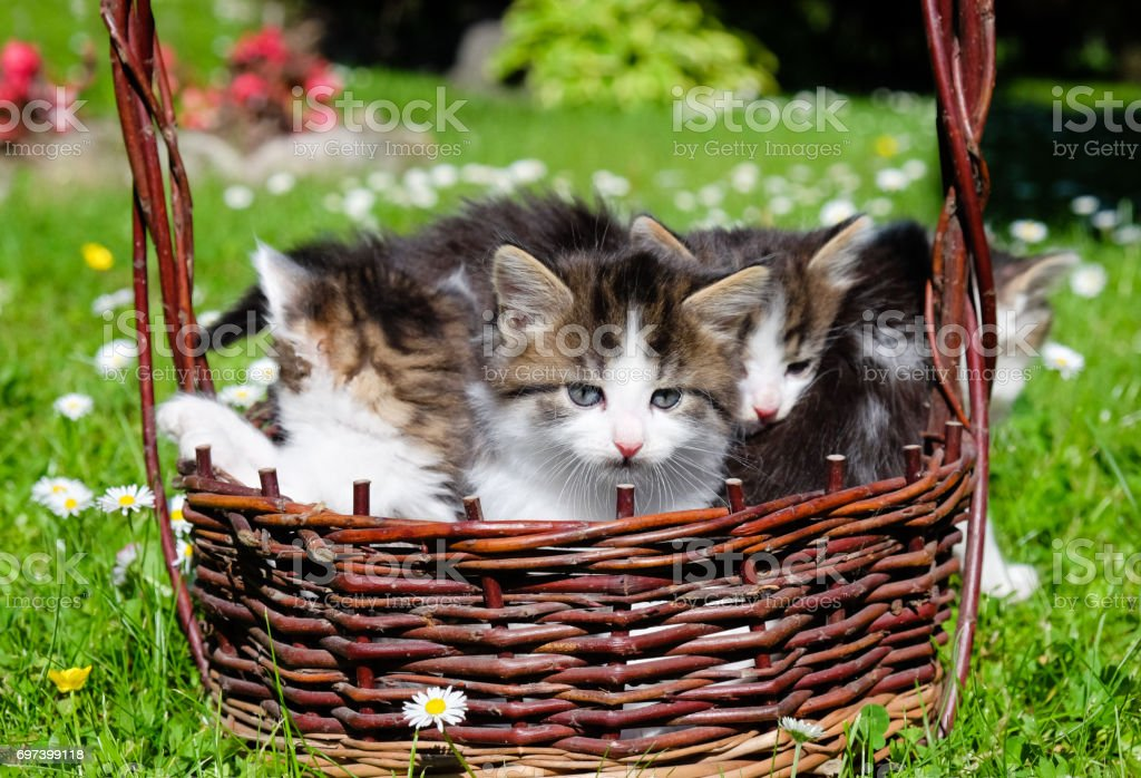 Furry kittens stock photo